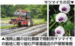 戸塚酒造店の焼酎用サツマイモ